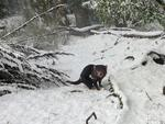 Devils in the snow at Devils@Cradle at Cradle Mountain. Picture: DEVILS@CRADLE