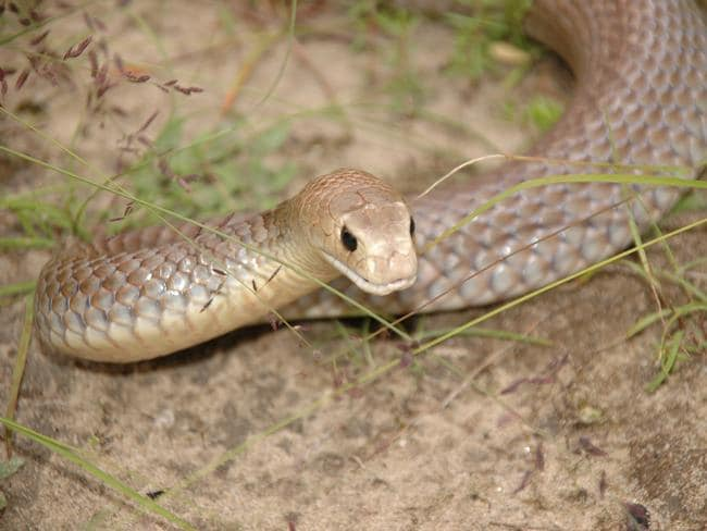 Nine people were bitten by snakes in separate incidents in Queensland over a 24-hour period this week. Picture: Supplied/The Australian Reptile Park.