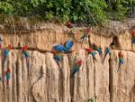 Red-and-green Macaws, Peru. Picture: Will Burrard Lucas/topwilldlifesites.com