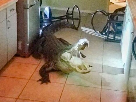 A 77-year-old woman found this beast in her kitchen. Picture: Twitter