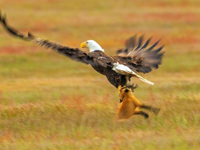 The fox wouldn't have seen the eagle coming as it swooped in quickly. Picture: Kevin Ebi/Caters News