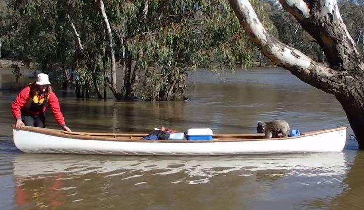 Students Use Canoe to Rescue Koala Stuck Up Tree in Rising River. Credit - Kirra Coventry via Storyful
