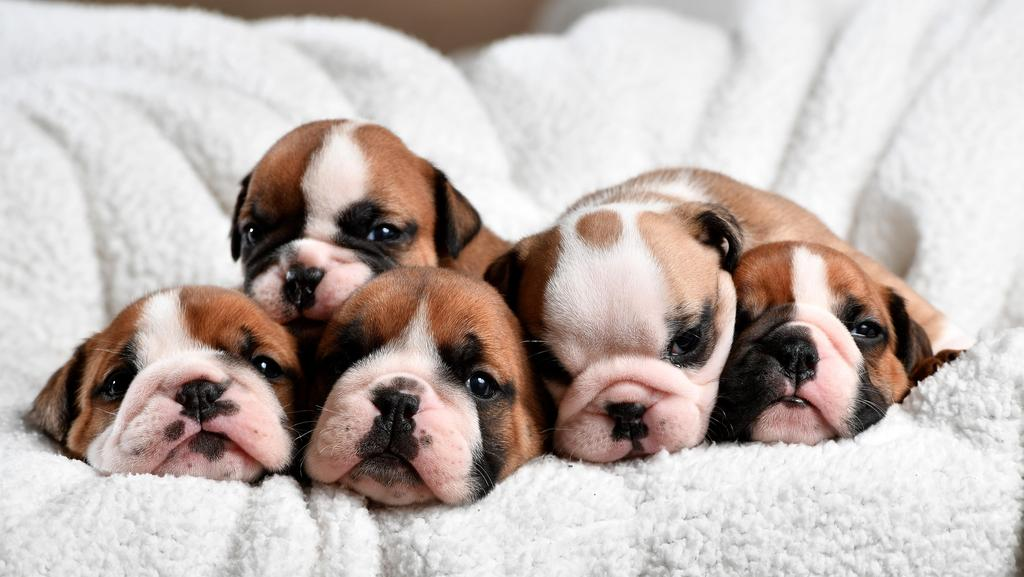 Adelaide Dog Lovers Falling For British Bulldogs Adelaide Now