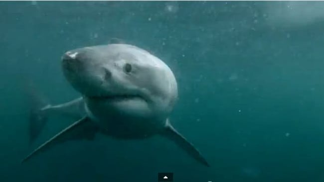 Sydneys GoPro Great White Shark At Manlys Jump Rock Real Or - Man fights great white shark sydney harbour jumping cliff