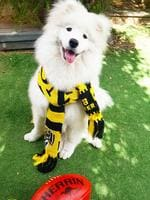 Luna the two-year-old samoyed eats Magpies for breakfast and happily gobbled them up on this day in 2018. She is a crazy, fluffy Richmond supporter who's always ready to bark her team on! Picture: Vanessa, Malvern East