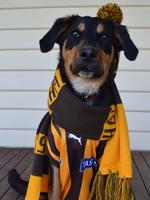 Jovi the four-year-old kelpie loves to dress up and cheer on the Hawks every week. Picture: Nicole Schneider, Greensborough