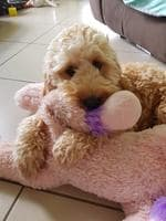 Tegan Bourke's dog Max is a 16-month-old Spoodle. Puppy Power List. PRP