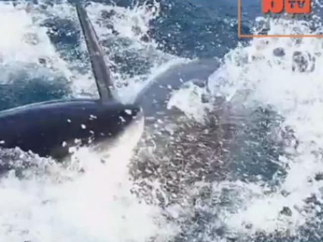 The sharks brutally attack each other. Picture: Screengrab