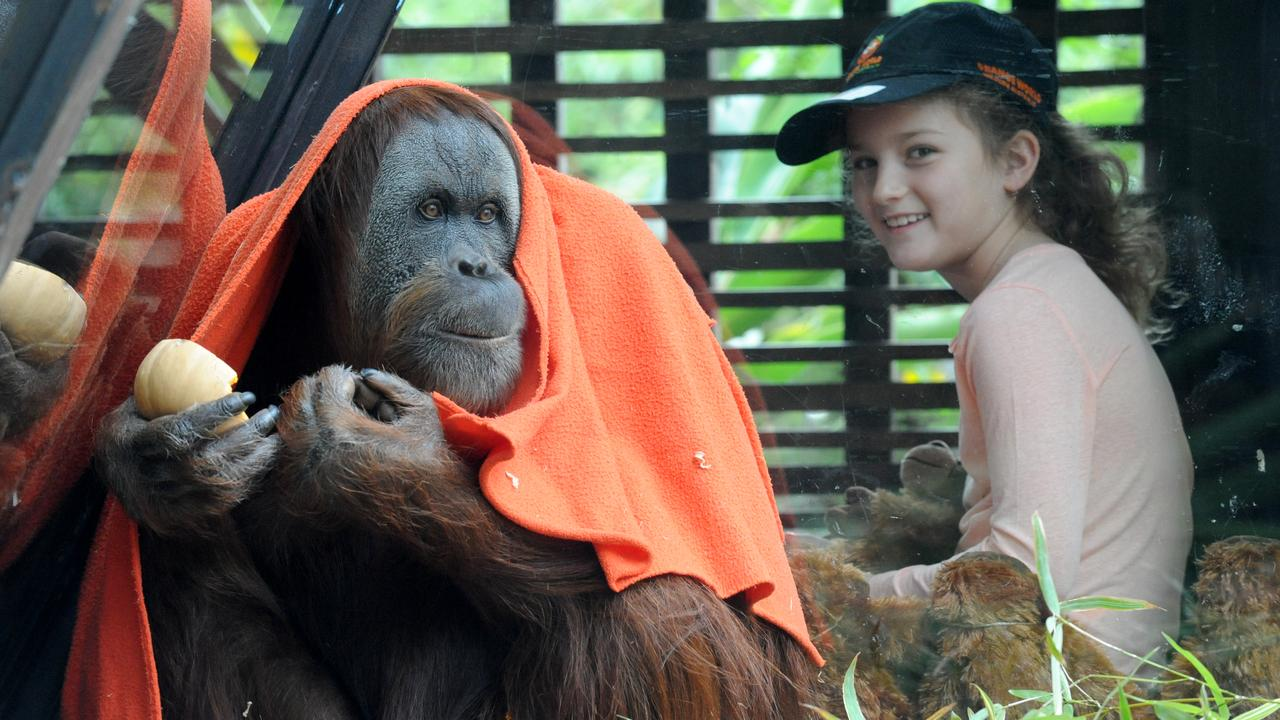 Maimunah the 28-year-old orang-utan with Bridget at Melbourne Zoo. Picture: Andrew Henshaw