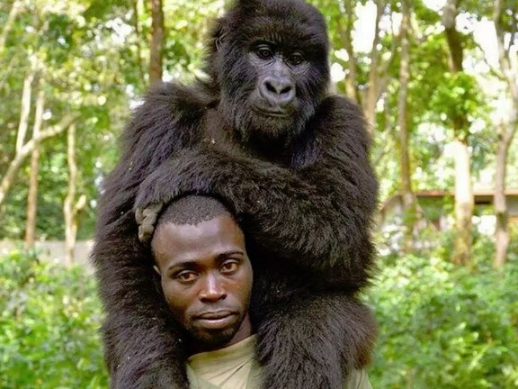 A ranger from Virunga National Park poses with this gorilla he rescued. Picture: Facebook