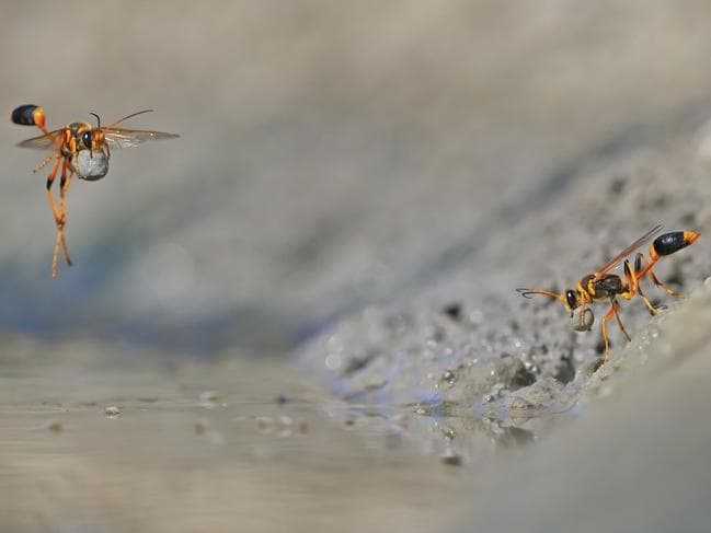 It took Georgina Steytler hundreds of attempts to get the perfect shot of these wasps, which won her first place in the Invertebrates category. Picture: Wildlife Photographer of the Year/Georgina Steytler