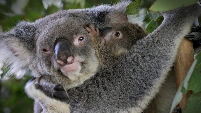 Meet some koalas up close and personal at Lone Pine Koala Sanctuary. Picture Jamie Hanson