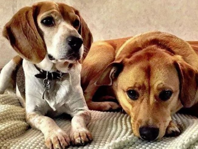 Meghan's two previously adopted dogs, Guy and Bogart. Picture: Instagram/Markle