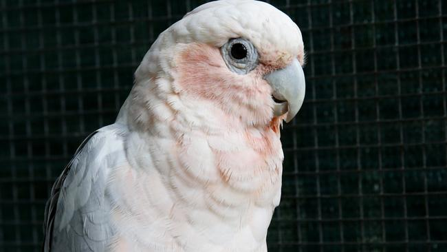 Corellas were discussed throughout the inquiry.