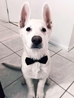 Simba decided to go for a job interview at the radio station as the new antenna. He's a white Swiss shepherd - Matthew Heyen