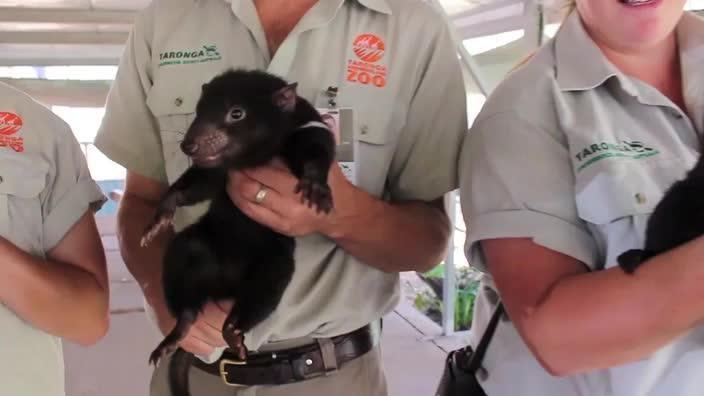 Taronga Western Plains Zoo welcomes four Tasmanian Devil joeys