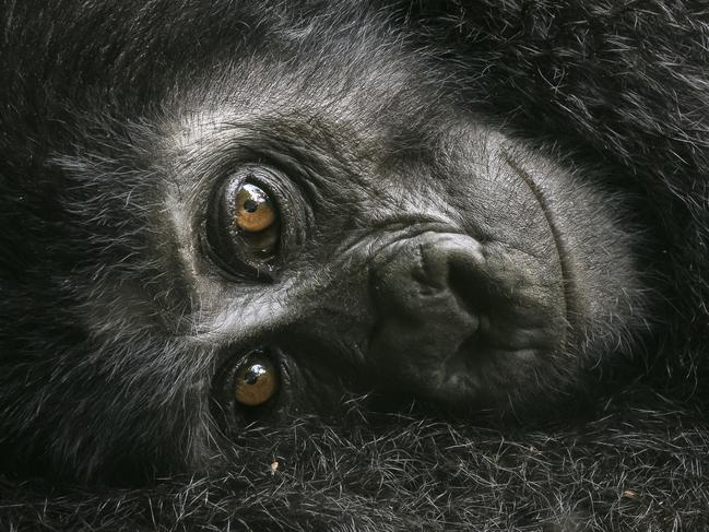 This baby gorilla clung to its mother while keeping a curious eye on the photographer. Picture: David Lloyd/Wildlife Photographer of the Year/Natural History Museum