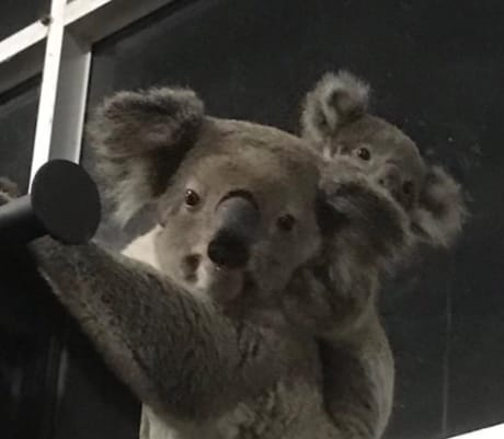 WWF-Australia koala conservationist Stuart Blanch says the gym visit shows how the fragmentation of habitat is forcing these iconic animals to cross dangerous open areas when looking for trees