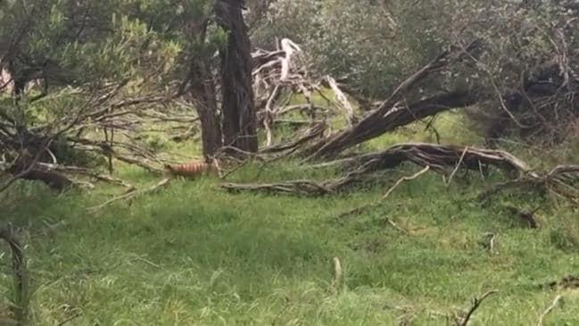 Potential Tasmanian Tiger sighting