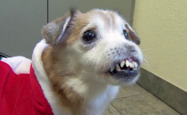 This nose-less pooch is looking for a new home in the New Year after being rescued. Source: WESH-TV.