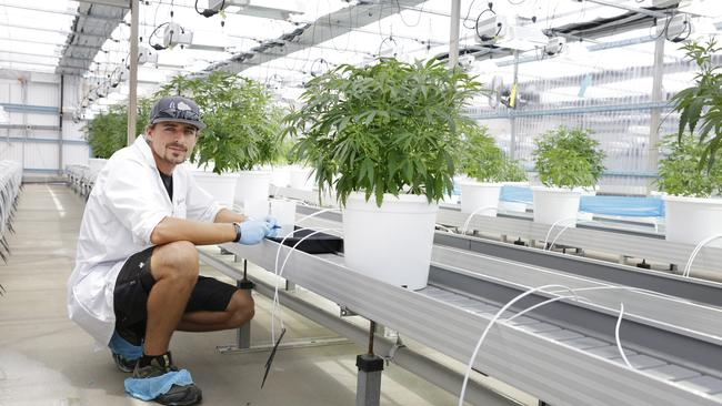 Master grower Steffen Kraushaar in the greenhouse at MediFarm. Picture: Megan Slade/AAP