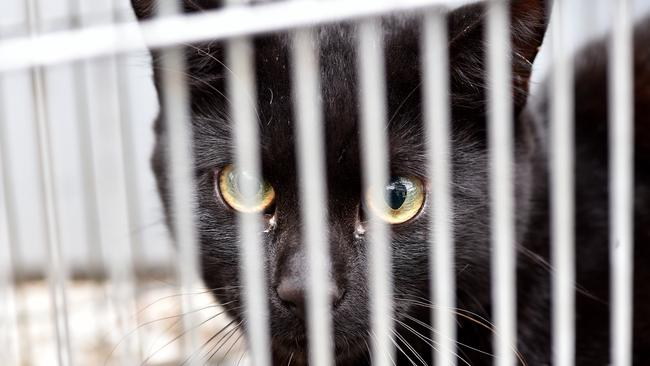Cats are estimated to kill around 60 million native animals a year. Picture: AAP/ Troy Snook