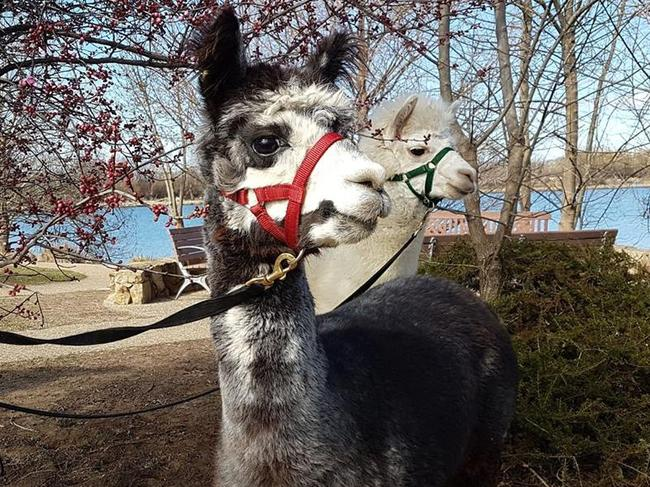 Mimosa had to be put down after the vicious attack. Picture: Alpaca Therapy