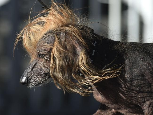Himisaboo, a Chinese Crested Wiener Dog — or Donald Trump? Picture: AFP