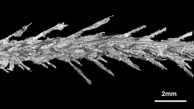 The vertebrae of the tiny tail. Picture: Lida Xing