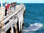 A dead whale floats off Parara Beach. Picture: Calum Robertson