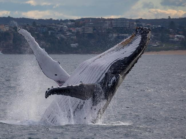 The humpback was having a jolly good time as it made its way towards Pacific waters on its annual northern migration. Picture: John Goodridge/Whale Watching Sydney