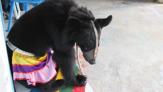 Vietnamese law does not prohibit animal performance. Picture: Animals Asia