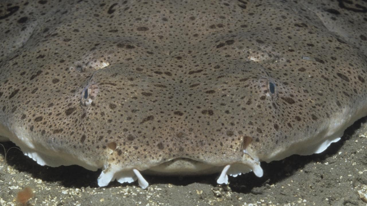 You can see the angel shark's eyes on the top of its head.