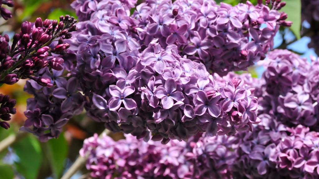 peter cundall spread lime in the garden to boost vegies and ornamentals - Garden Lime