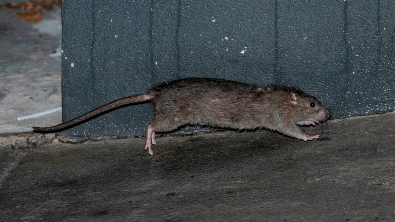 Sydney construction boom triggers rat invasion