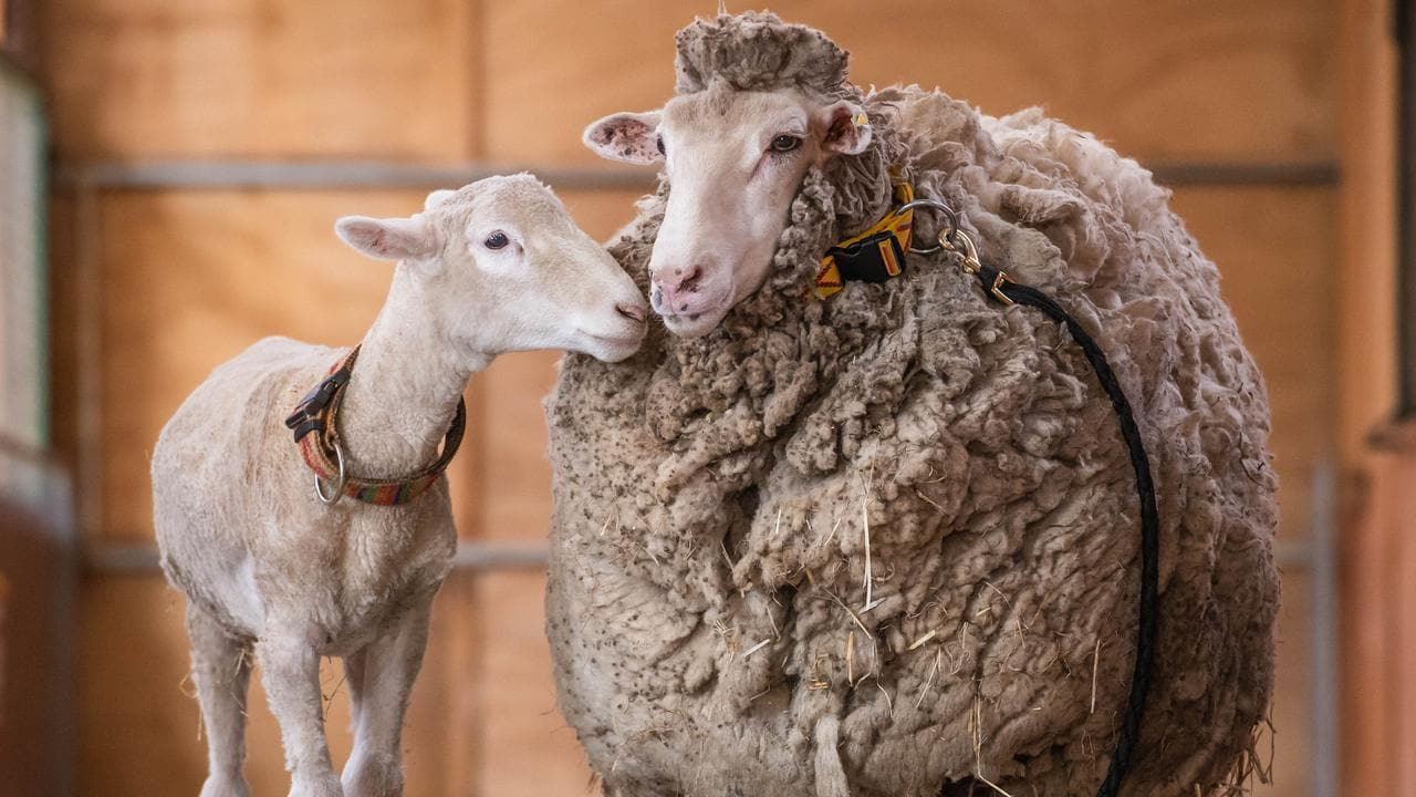 d04f9303b054 Fashion website bans wool over claims sheep shearing is cruel