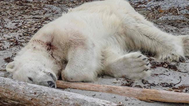Polar Bear Shot Dead Causing German Cruise Line To Cop