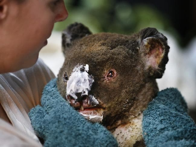 Guzzle, a distressed male koala, with cream on his burnt nose after he was caught up in the Mallacoota fires over New Year's Eve. Guzzle was one of the lucky ones to survive. Picture: David Caird
