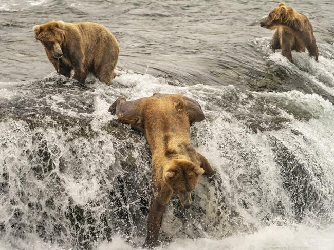 This brown bear was in the midst of a short tumble as he was fishing atop Brooks Falls, Alaska during the annual salmon run. Picture: Taylor Thomas Albright / National Geographic Photo Contest