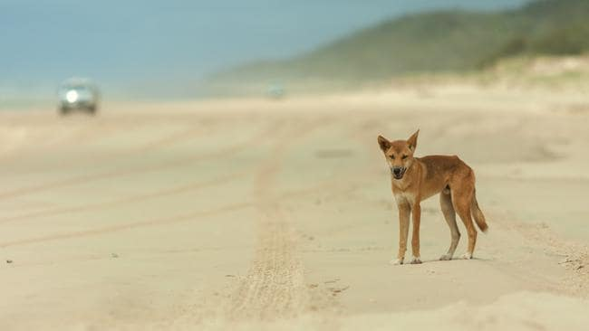 Dingoes are not native animals. Picture: Kingfisher Bay Resort