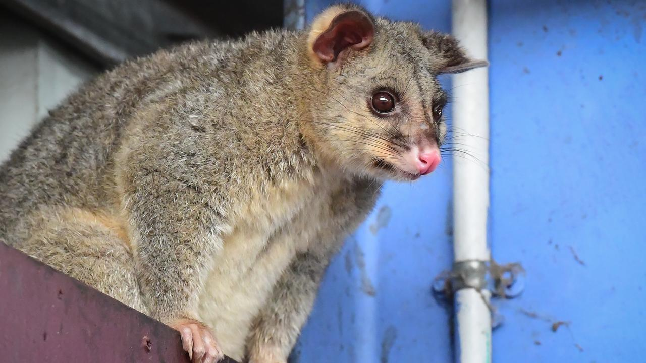 Tenant wins compo for dead possums