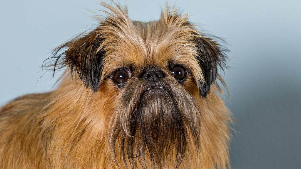 Ewok Lookalike Dog Turning Heads On The Gold Coast Gold Coast Bulletin