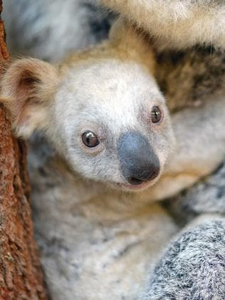 The unnamed white koala joey. Picture: AAP/Ben Beaden