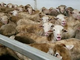 In this undated handout photo from Animals Australia recieved by AFP on March 9, 2018 shows distressed sheep shot onboard Panama-flagged livestock carrier Awassi Express, from Australia to the Middle East, captured over five voyages last year. An export ship due to carry more than 50,000 sheep to the Middle East has been blocked from leaving Australia after secret footage emerged of distressed animals dying and struggling to breathe in filthy conditions. / AFP PHOTO / ANIMALS AUSTRALIA / Animals Australia