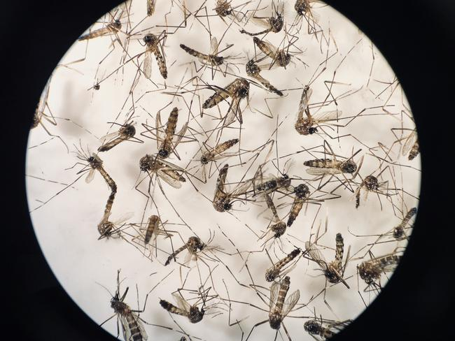 Scientists have hailed a world-first breakthrough in wiping out more than 80 per cent of deadly disease-carrying mosquitoes in a trial in north Queensland. Mosquitoes viewed through a microscope. Picture: Marc McCormack