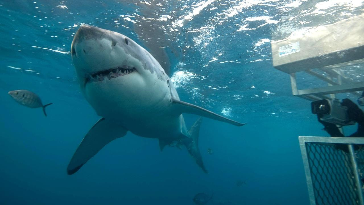 This is another great white photographed by Andrew Fox on a Rodney Fox Shark Expedition. You can see an underwater camera protected by a cage on the right. Picture: supplied