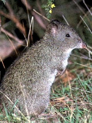 Bramble Cay melomys were declared extinct in the past decade.