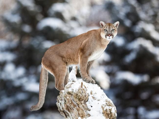 It's rare that a human would encounter a cougar in Washington state. Picture: iStock