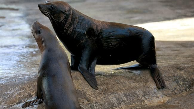 Fur seals have been causing problems at a Coorong fishery. Picture: Toby Zerna