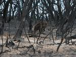 A kangaroo amid the destroyed scrub. Picture: AAP/Emma Brasier
